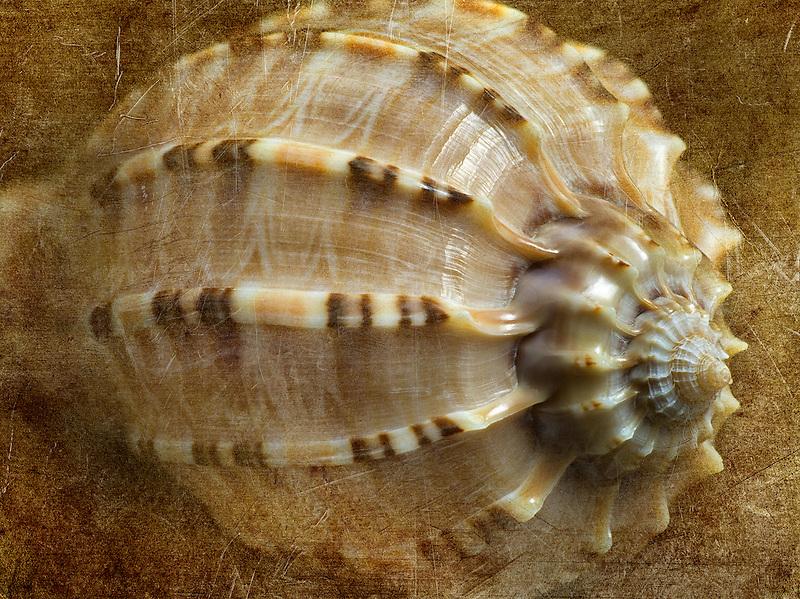 Close up of Harpa Major sea shell.