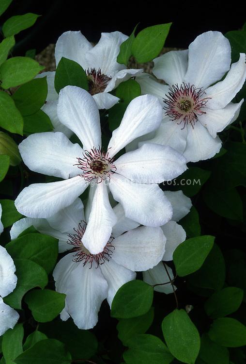 Clematis 'Edith' (Clematis Lanuginosa Group) white flowered perennial climbing vine. AGM, red stamens