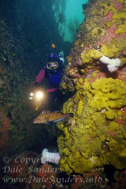 Scuba Diver observing a curious Kelp Greenling ( Hexagrammos decagrammus) underwater off Quadra Island,  British Columbia, Canada.