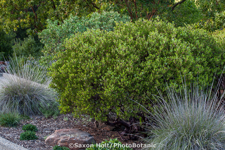 Arctostaphylos densifllora, Howard McMinn, evergreen shrub in California native plant garden; Katherine Greenberg