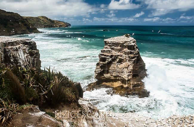 Gannet colony at Muriwai Beach near Auckland, Northland, North Island, New Zealand