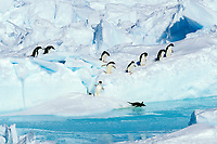 Adelie penguins, Pygoscelis adeliae, entering the water, Cape Hallet, Antarctica