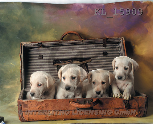 Interlitho, Alberto, ANIMALS, dogs, photos, 4 puppies, suitcase(KL15909,#A#) Hunde, perros
