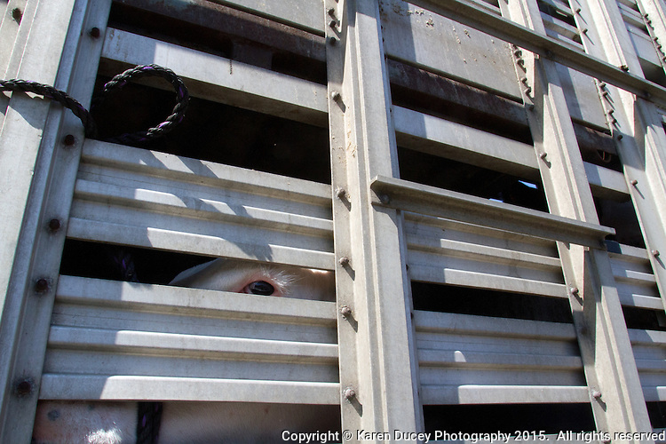 A steer stares through the grate after being loaded onto a trailer hauling it to a slaughterhouse after being sold at auction in the Northwest Junior Livestock Show at the Washington State Spring Fair in Puyallup, Wash. on April 19, 2015.  (photo © Karen Ducey Photography)