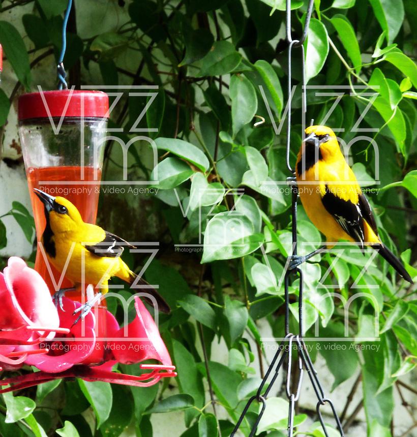 CALI - COLOMBIA, 30-06-2016: Turpial Amarillo, especie de ave presente en el norte de Cali. / Garza Gris, bird species present in north of Cali Photo: VizzorImage / Dario Ramirez / Cont.