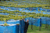 BNPS.co.uk (01202 558833)<br /> Pic: ZacharyCulpin/BNPS<br /> <br /> Net gains in a sea of grapes...<br /> <br /> Pictured: Simon Priestman inspects the nets in his Dorset vineyard.<br /> <br /> A British vineyard has been forced to cover its grapes with netting after greedy wildlife kept stealing their crop.<br /> <br /> Little Waddon Vineyard in Dorset has been targeted by a brazen family of deer, gluttonous badgers and thieving magpies and woodpeckers.<br /> <br /> To stop the thefts staff have spent a week covering the 4,000 vines with 6,500 yards of netting.