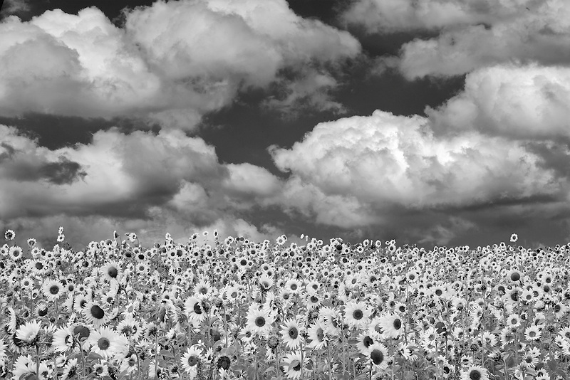 Sunflowers near Sherwood, Oregon. Sky has been added