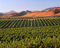 Overhead landscape of the Santa Ynez Valley Vineyards with rolling hills in the background. California.