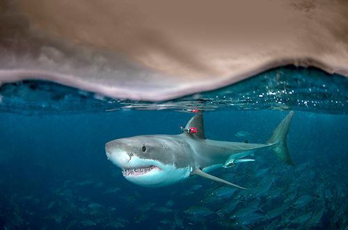 White shark: A white shark (Carcharodon carcharias) swimming at the surface with a biologging package attached to dorsal fin. This package records temperature, swimming speed, depth, body movement and video footage
