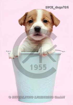 Xavier, ANIMALS, dogs, photos(SPCHdogs726,#A#) Hunde, perros