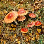 Great Britain, England, Fly agaric (Amanita muscaria) woodland Fungi | Grossbritannien, England, Fliegenpilze (Amanita muscaria var. muscaria)