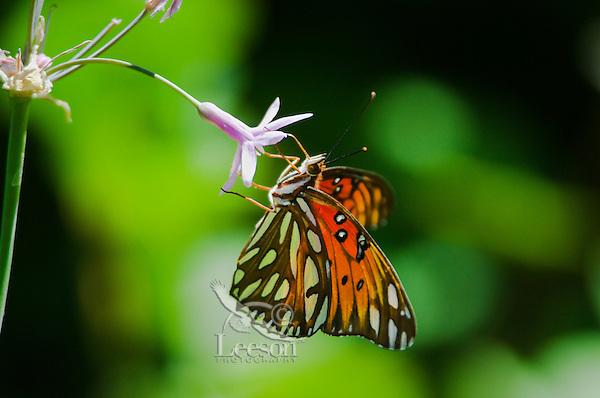 Gulf Fritillary (Agraulis vanillae) butterfly.