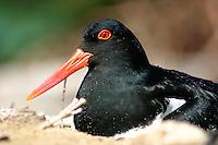 Nesting Australian Pied Oystercatcher o n the New South Wales South Coast and Coastal Island bird surveys