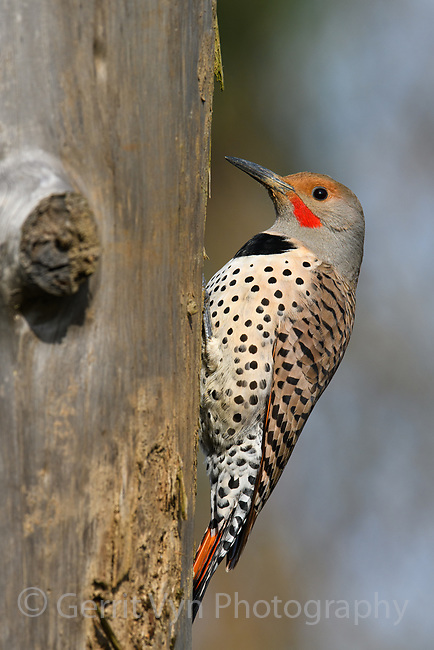 Northern Flicker (Colaptes auratus). Oregon. April.