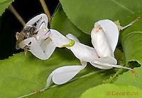 """0610-07vv  Malaysian Orchid Mantis Consuming Bee - Hymenopus coronatus """"Nymph"""" - © David Kuhn/Dwight Kuhn Photography"""