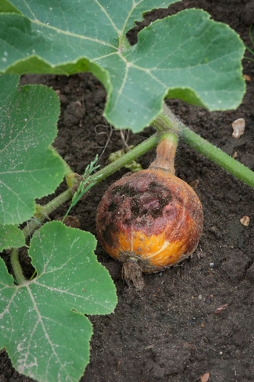 Blossom end rot in autumn squash, early August.