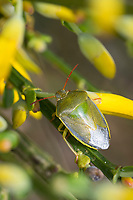 Ginster-Baumwanze, Ginsterbaumwanze, an Besenginster, Ginster, Piezodorus lituratus, Piezodorus degeeri, Gorse Shieldbug, Baumwanzen, Pentatomidae, stink bugs, an Sarothamnus scoparius