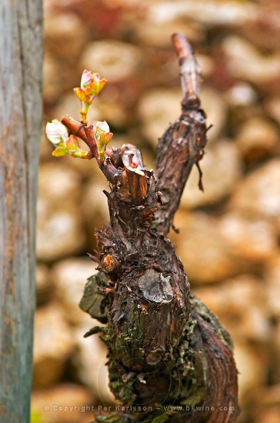 Detail of an old Syrah vine that is just breaking out in leaves in the Hermitage vineyard. Tain l'Hermitage, Drome, Drôme, France, Europe