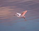 Snowy Egret Sunset Flight Ballona Creek Southern California