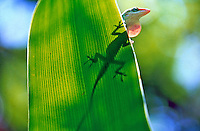 Anoles of Florida