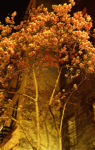 AVAILABLE FROM JEFF AS A FINE ART PRINT.<br /> <br /> AVAILABLE FROM JEFF FOR EDITORIAL LICENSING (Not property released for commercial/advertising licensing).<br /> <br /> Upward View of Tree Blossoms and an Apartment Building on a Spring Evening, The Gramercy Park Neighborhood of Manhattan, New York City, New York State, USA<br /> <br /> Original image photographed on 35mm transparency  film.