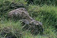 Europäischer Feld-Hase, Feldhase, Hase, duckt sich in seiner Sasse, Lepus europaeus, European hare