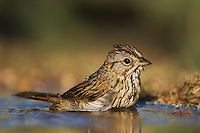 Lincoln's Sparrow, Melospiza lincolnii, adult bathing, Uvalde County, Hill Country, Texas, USA, April 2006