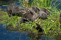 Northern River Otter (Lontra canadensis) pups play on grass covered log along edge of pond.  Western U.S., summer..