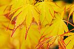 Summer Gold Japanese Maple leaves in spring.  Japanese maple, Acer, red veined, garden variety.