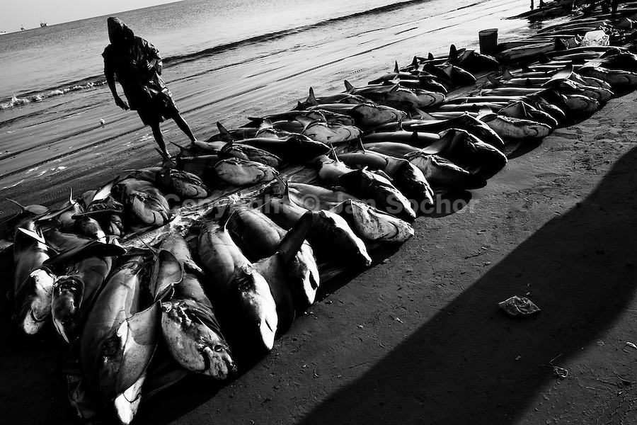 A fisherman counts thresher shark carcasses at dawn on the beach of Manta, Ecuador, 9 September 2012. Every morning, hundreds of shark bodies and thousands of shark fins are sold on the Pacific coast of Ecuador. Although the targeted shark fishing remains illegal, the presidential decree allows free trade of shark fins from accidental by-catch. However, most of the shark species fished in Ecuadorean waters are considered as ?vulnerable to extinction? by the World Conservation Union (IUCN). Although fishing sharks barely sustain the livelihoods of many poor fishermen on Ecuadorean at the end of the shark fins business chain in Hong Kong they are sold as the most expensive seafood item in the world. The shark fins are primarily exported to China where the shark's fin soup is believed to boost sexual potency and increase vitality. Rapid economic growth across Asia in recent years has dramatically increased demand for the shark fins and has put many shark species populations on the road to extinction.