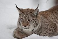Luchs, Nordluchs, Nord-Luchs, Eurasischer Luchs, im Winter im Schnee, Lynx lynx, Felis lynx, Lynx, Lynx d´Europe