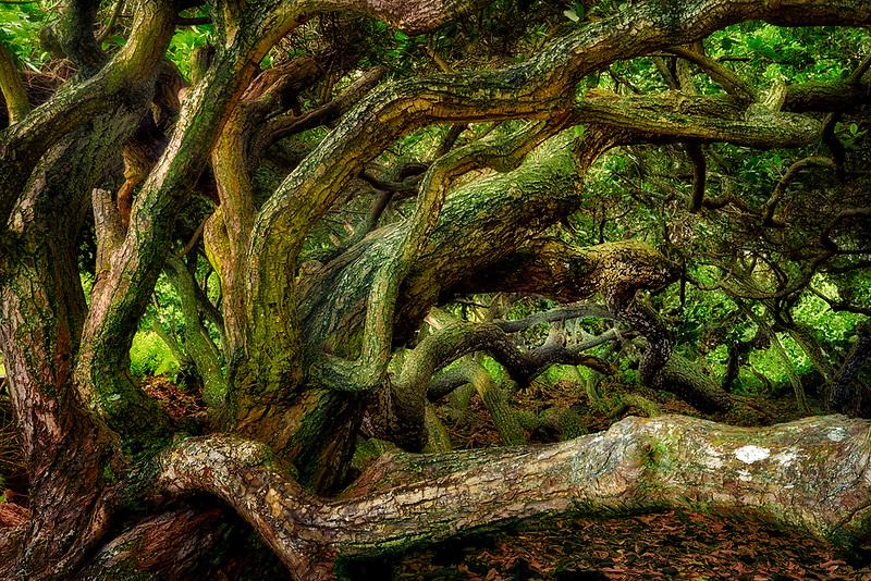 Wildly branching fig tree in Isaac Hale Beach Park, Near Pahoa, Hawaii.