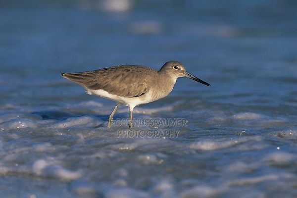 Willet, Catoptrophorus semipalmatus,adult winter plumage, Sanibel Island, Florida, USA