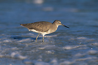 Willet, Catoptrophorus semipalmatus,adult winter plumage, Sanibel Island, Florida, USA
