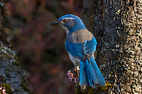 California Scrub Jay or Western Scrub Jay (Aphelocoma californica) perched in flowering plum tree.  Pacific Northwest.  Spring.