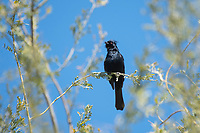 Male Phainopepla, Phainopepla nitens, in the Desert Botanical Garden, Phoenix, Arizona