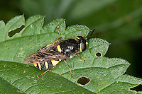 Gelbband-Waffenfliege, Waffenfliege, Weibchen, Stratiomys potamida, syn.  Stratiomys splendens, Banded general soldier fly, soldierfly, soldier-fly, Waffenfliegen, Stratiomyidae, Soldier flies, soldierflies, soldier-flies,