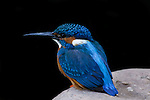 Common kingfisher, Ranthambore National Park, India