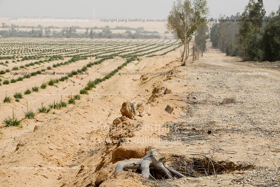 EGYPT, Ismallia , Sarapium forest in the desert, the trees are irrigated by treated sewage water from Ismalia, left desert farm with onions / AEGYPTEN, Ismailia, Sarapium Forstprojekt in der Wueste, die Baeume werden mit geklaertem Abwasser der Stadt Ismalia bewaessert, links Wuestenfarm mit Zwiebeln