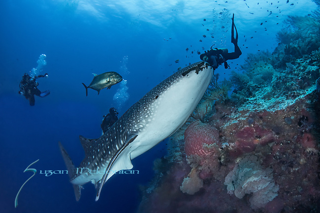 Whale shark meets diver ascent mouth open, Rhincodon typus, Tubbataha, Philippines