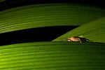 Cricket (Gryllidae) at night, Osa Peninsula, Costa Rica