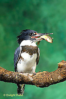 KG01-037z  Belted Kingfisher - male perched along stream with fish he caught- Megaceryle alcyon