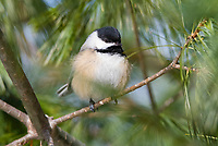 black-capped chickadee, Poecile atricapillus perched on pine tree branch, Nova Scotia, Canada