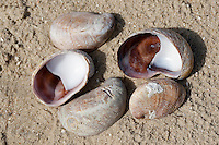Pantoffelschnecke, Pantoffel-Schnecke, Amerikanische Pantoffelschnecke, Porzellanpantoffel, leere Schalen, Gehäuse im Angespül, Spülsaum, am Strand, Crepidula fornicata, slipper limpet, slippersnail, common slipper shell, common Atlantic slippersnail, boat shell, quarterdeck shell, fornicating slipper snail