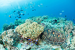 Anda, Bohol, Philippines; a green sea turtle resting amongst soft corals on the reef with fish in the background