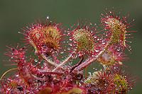 Rundblättriger Sonnentau, Sonnen-Tau, Blätter mit Klebtropfen, Drosera rotundifolia, Round Leaved Sundew, Rossolis à feuilles rondes