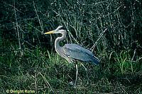 HN01-037z  Great Blue Heron - in pond in Maine - Ardea herodias