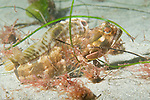 La Jolla Underwater Ecological Reserve, La Jolla, California; Sarcastic Fringehead (Neoclinus blanchardi) free swimming along the sandy bottom and attempting to use floating kelp and sea grass for camouflage