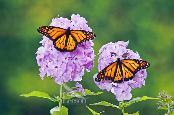 Monarch  (Danaus plexippus) butterflies on garden phlox (Phlox paniculata) flowers, summer, North America.