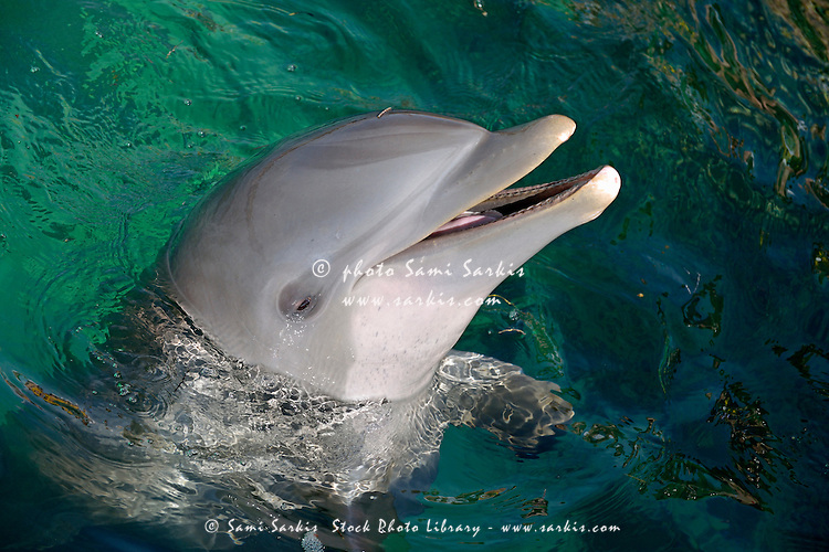 Head of Bottle-nosed Dolphin (Tursiops Truncatus) in ocean, Punta Cana, Dominican Republic